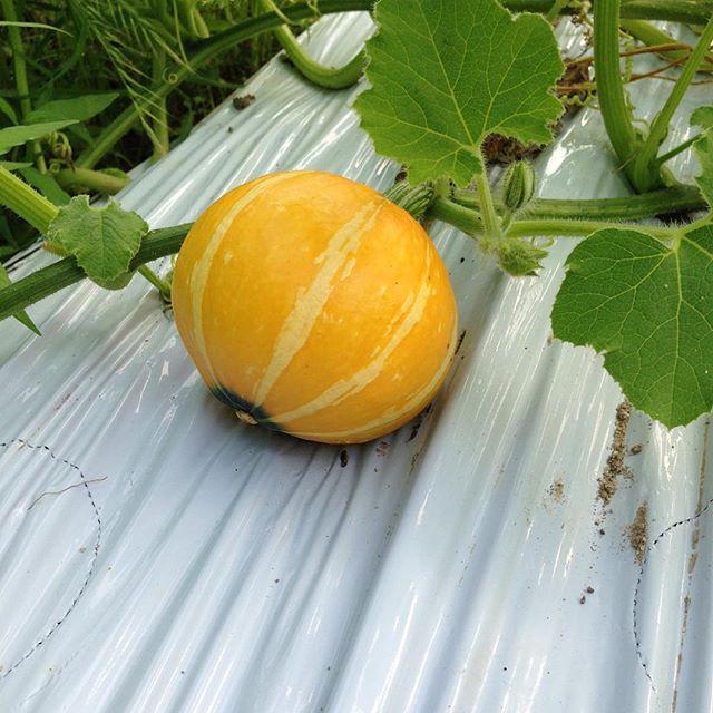 ラップに包んでレンジしたら食べられるかぼちゃ そろ...