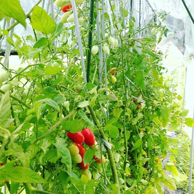 昨日トマト完売ありがとございました!台風で、想定範...