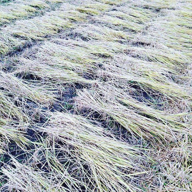 昨日、晴れの日が続き稲刈りして田んぼは、畑用の敷き...