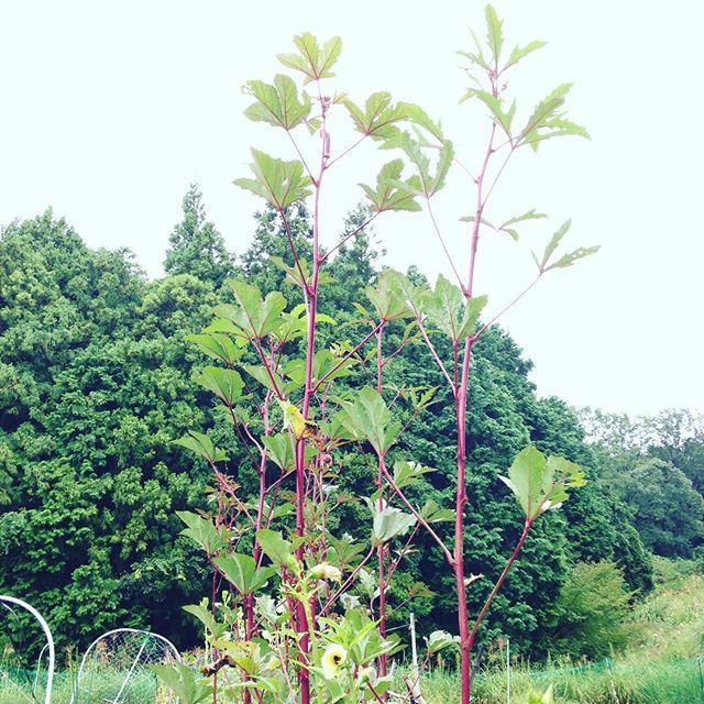 オクラの収穫です 3メートル近く成長してます!こち...