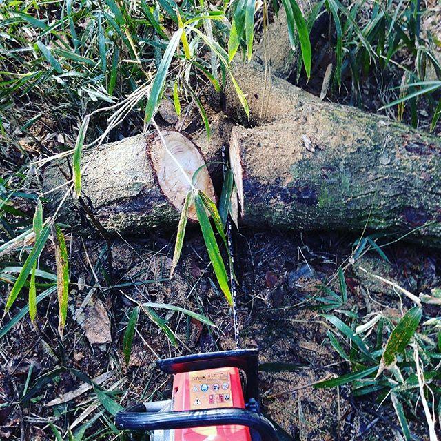 今日は、昨年に台風で倒木した木をハウスの燃料にする為に木を丁度良いサイズに切ってます。今日の朝はいつも通り寒かったが、現在は青空ですね〜