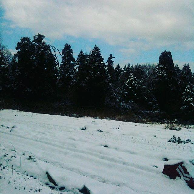 雪がとけたら収穫したいと考えながらハウスで春の苗木作り中ですね〜今日も完売ありがとうございます!