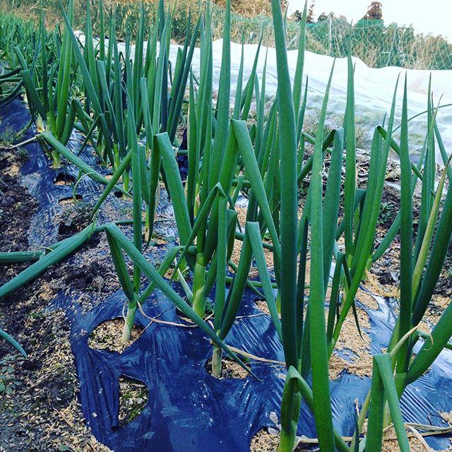 ネギが、出来て来ました!今日の朝はあまり冷え込みはありませんが、寒いのは変わらない 超高級野菜は、1反のうち良い時で、10パーセント目標です!駄目なら廃棄