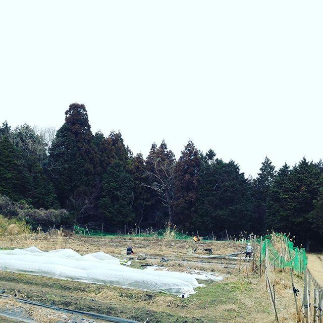 最強寒波は、今から影響なの?確かに寒くて凍りついた畑は、少し気温が多少上がって、スタッフと土まみれになって作業して春植え準備してます!