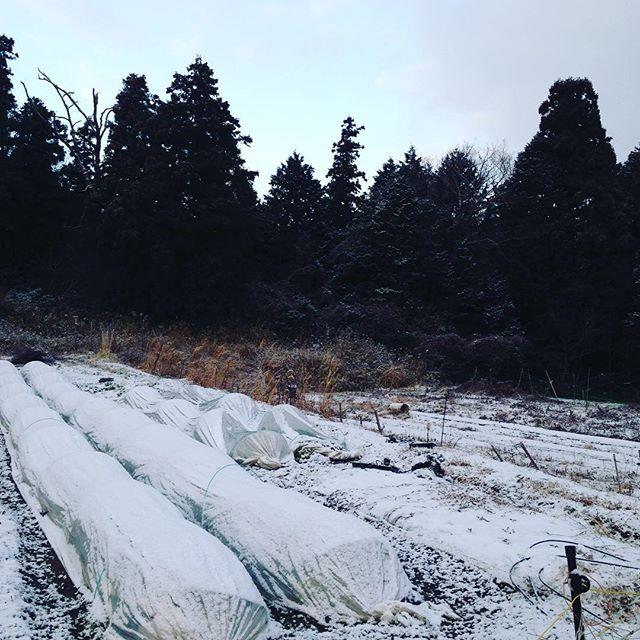 おはようございます!今日は収穫できるレベルのギリギリ気温0度