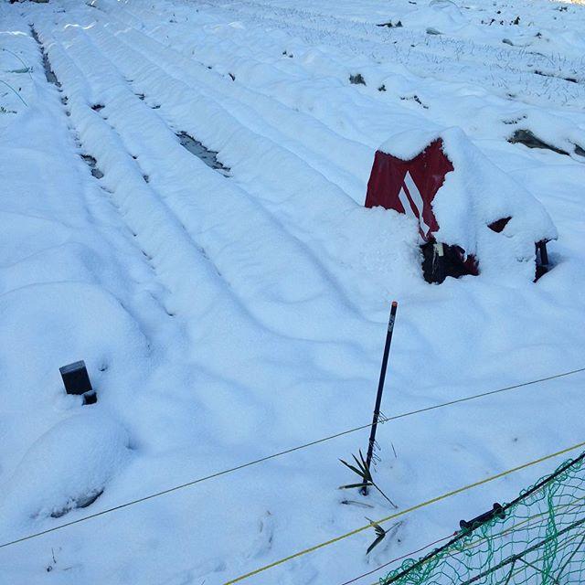 積雪で、本日の収穫出荷とも不可能
