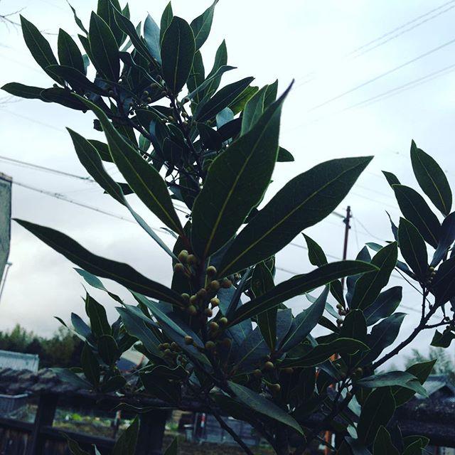 料理に使う月桂樹の葉っぱ!こんな感じです。去年は、忙しくて、収穫出荷しませんでしたが、今年は、検討中