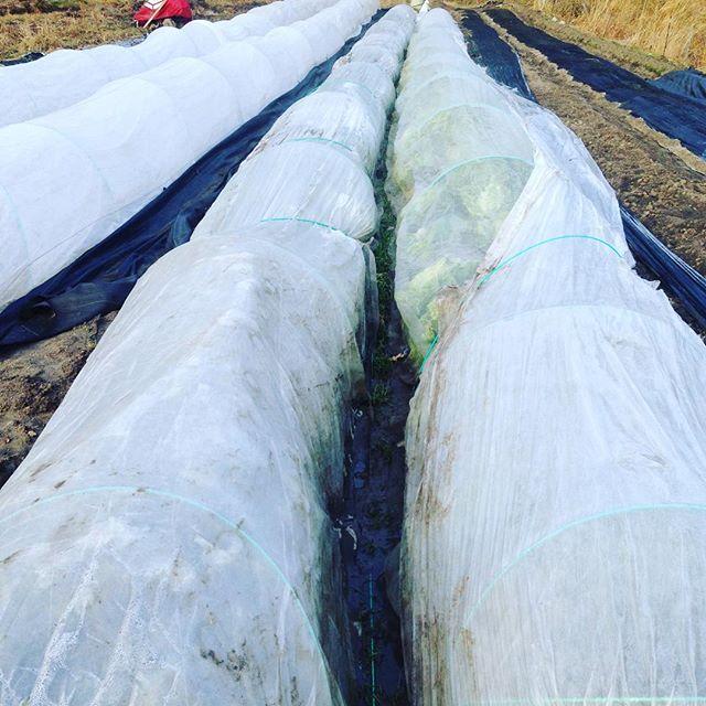 朝の空気は、また、冬です!雨の予報でまた土が触れなくなりそうですね〜雨の降る前にキャベツ、ダイコン、芽つき白菜を収穫して昼前に出荷します