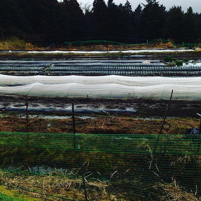 春植え、秋の種まきと忙しく雨の中作業してます!昨日収穫出荷しました!春キャベツはボチボチと、天候見ながら出荷してます!安くて柔らかく美味しいですね〜