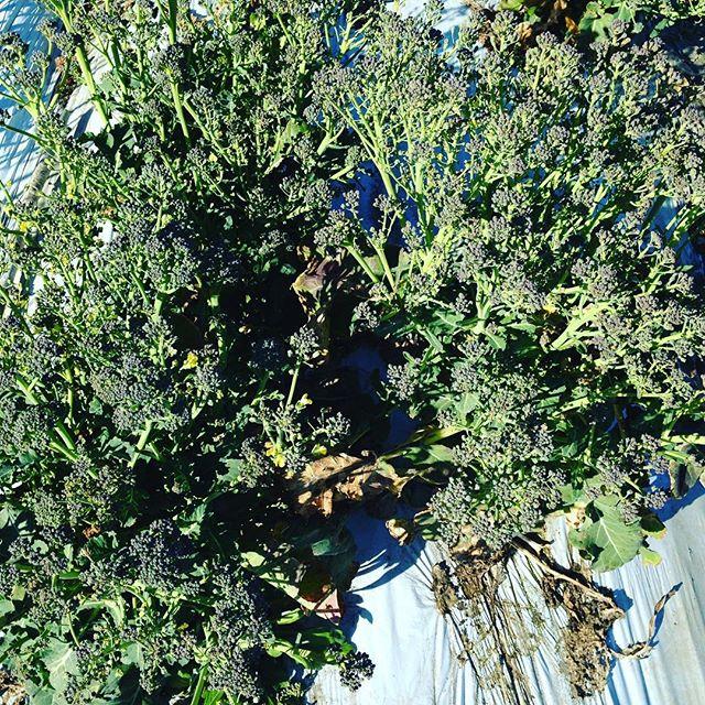 こちらは収穫遅れのブロッコリーです!花が咲いて来ますね〜これはこれで、美味しいですが、出荷は、しません!随時、次のブロッコリーも、カリフラワーも順調です
