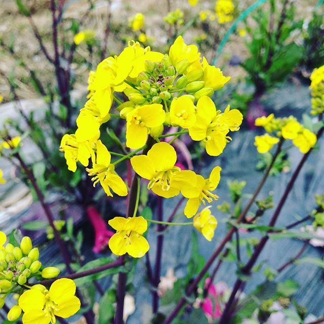 これは、ひなの!の花です!種用で全く出荷はしてないですが、今年から七水口産で行けそうです