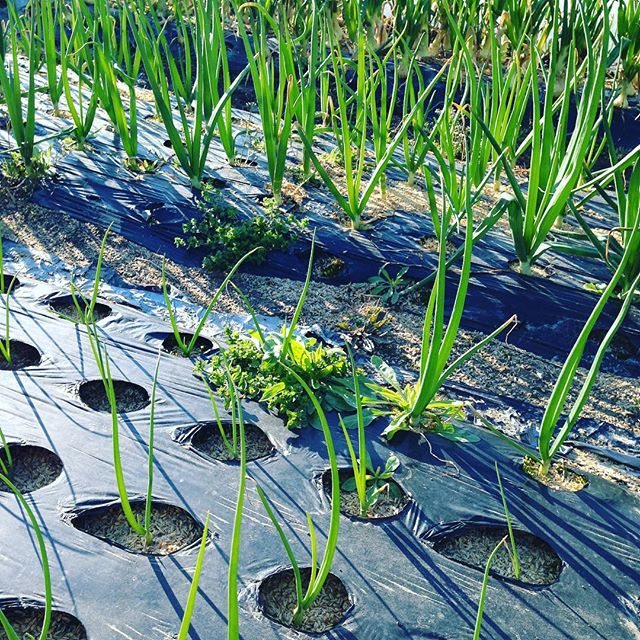 有機農業で、1番やらないとダメな作業は、草取りです!風で草の種が成長して作物より大きく育ちまた、種を増やす結果となります!さくもつによりますが、籾殻を使うことで、草の制御できます!生えて来た草は、早めに取り除くことが栄養満点の野菜になりますよ!大量に除草剤などを使えば、草は抑えられ安く提供できますがうちは、使ってないけど安いけど手間が、かかってますよ〜
