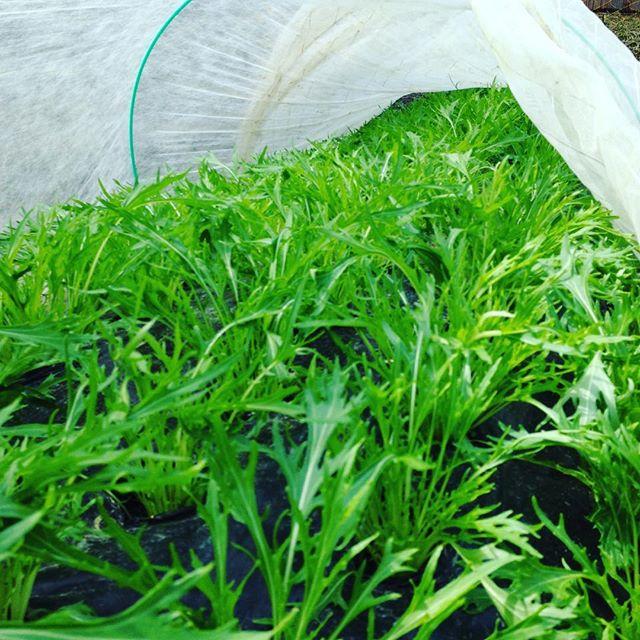 水菜の管理は、温度管理と、上手に日光を浴びさせる工夫すると、柔らかく繊細な食感につながる水菜に育ちます!