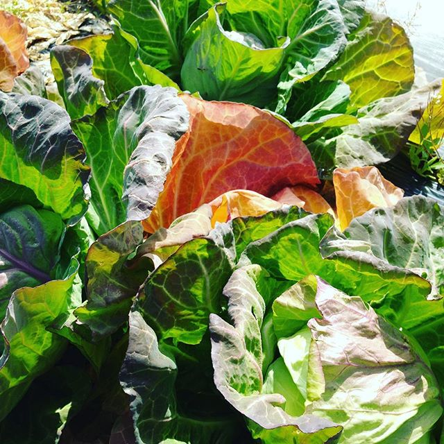 キャベツもバッチリ巻いて来ました!今日は朝から青空で、気温もどんどん上がりそうです!今日は、キャベツ、水菜、赤水菜、茎ブロッコリー、サラダ玉ねぎ、赤からし菜を出荷しました