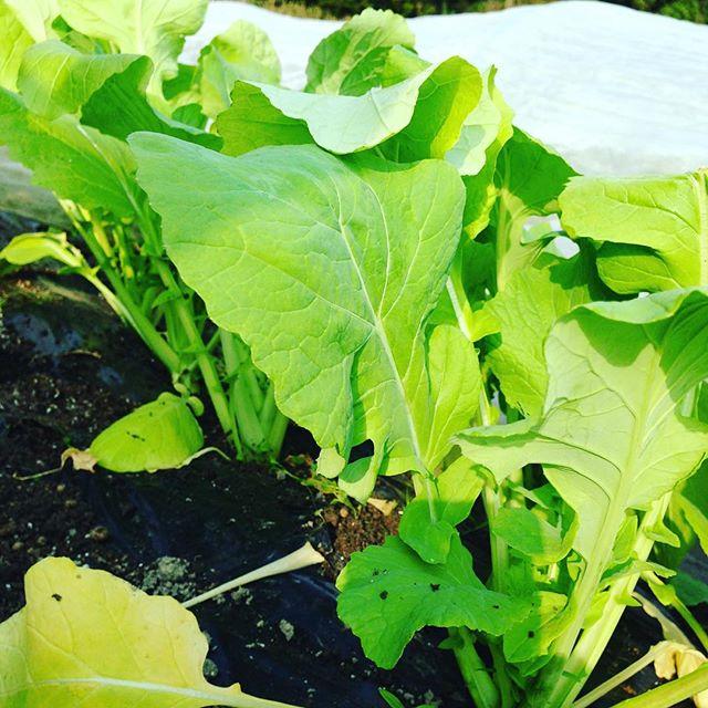明日で、つけな収穫出荷終わります!次のチンゲン菜が、できるまで、こちらも完売!