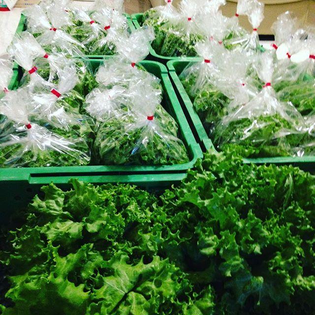 朝から青空ですね〜今日は、リーフレタス、チンゲン菜、サラダ玉ねぎ、つけな、パセリ、わさびの菜、パクチー、水菜、からし菜を収穫しました!只今収穫準備中です!10時目標に終わらせて、出荷します!