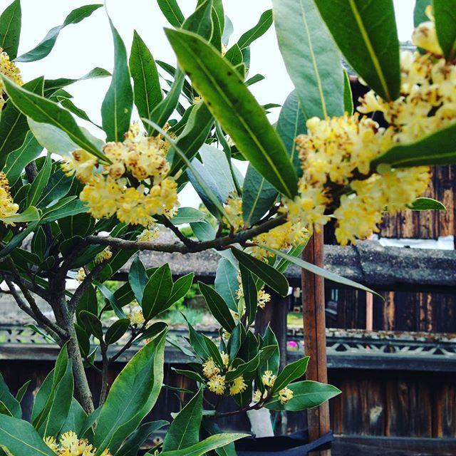 咲いている花は、月桂樹の花ですね!黄色い花です