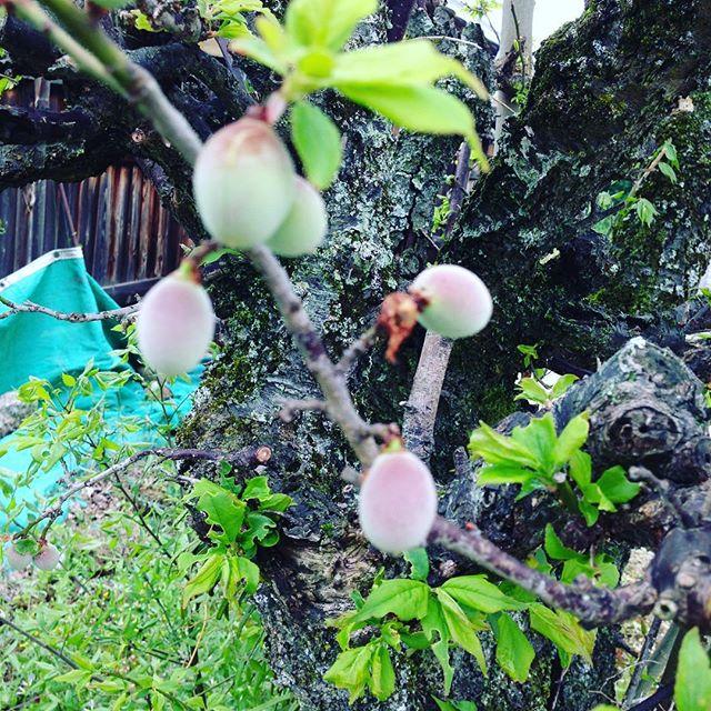 雨が続いて、どんより小雨が降ってますが梅の実は大きくなってきました。連休が近づきましたね〜平成もお疲れ様です!新しい令和が、始まろうとしてます!連休中は、毎日収穫出荷してますのでどうぞよろしくお願い申し上げます。