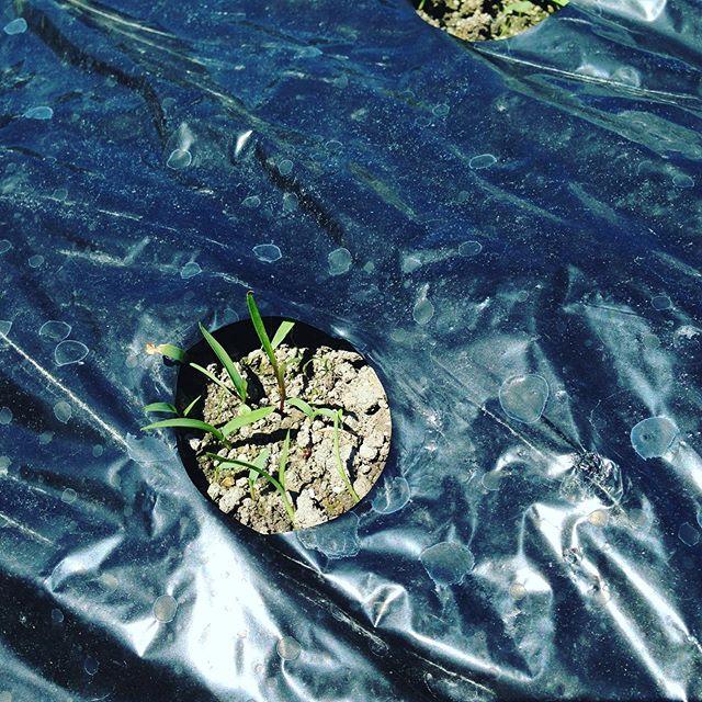 さて、この中にはたくさん風で飛んできた草の種も発芽してます!さて、人参は、どれでしょ?