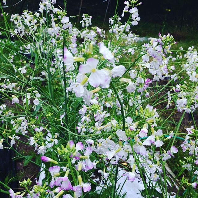 青首ダイコンの種作り!実は、こんな綺麗な花が咲くの知ってるかなぁ?