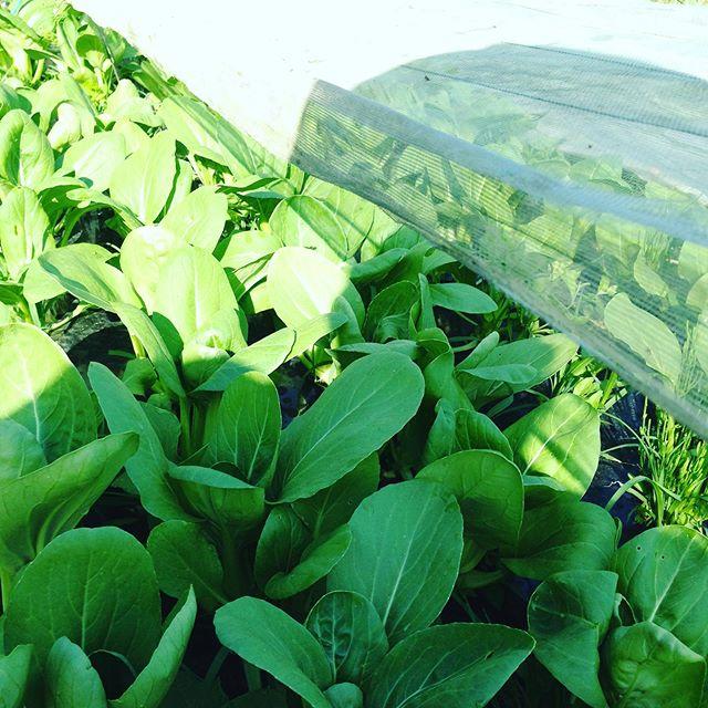 チンゲン菜、レタス、キャベツ、カリフラワーなどなどを収穫出荷してます。