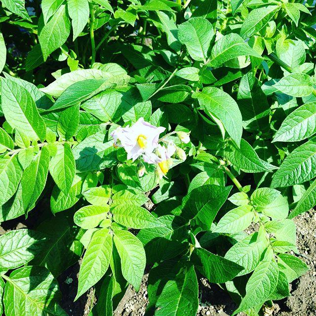 1番目の新じゃが!花が咲いてほくほくのジャガイモとチーズベーコンとか食べられそうですね〜