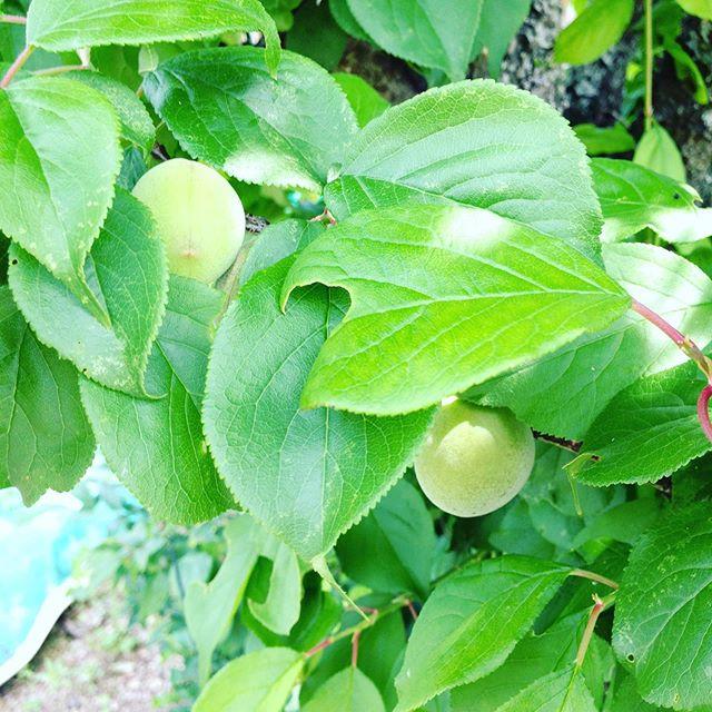 梅の実も無事、梅ジュースや梅干しになりますね〜出荷終わりました!家で飲むジュースは、リンゴ、みかん、梅、お茶、ぶどう等全て自家製です!近くにサンガリアさんがあり地元炭酸だけ買います。
