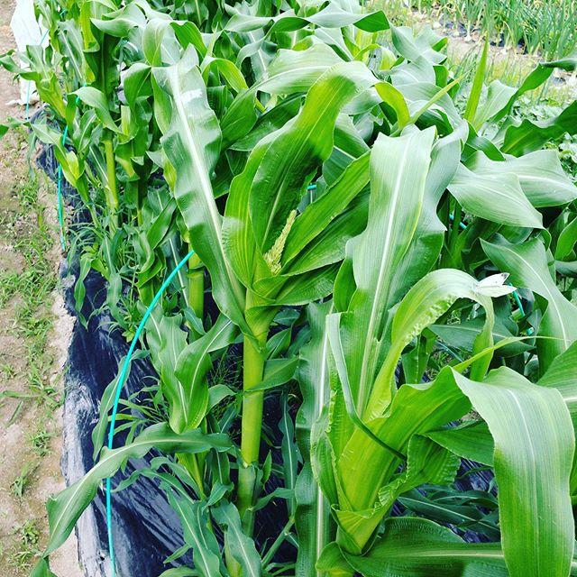 もう少しで梅雨入りですね!そんな中でトウモロコシが大きくなりました。忙しくてかなり出荷遅れて廃棄しました