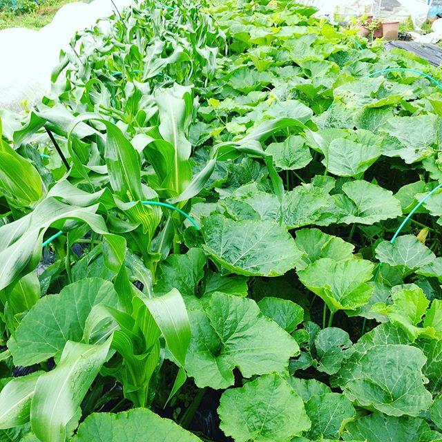 こちらは実験的に南瓜とトウモロコシを並べて栽培してます南瓜はつるが、トウモロコシの根にうまく絡みついて特にトウモロコシを紐で結んだり台風対策のフラワーネットも無しで今のところは順調ですね〜楽らく栽培