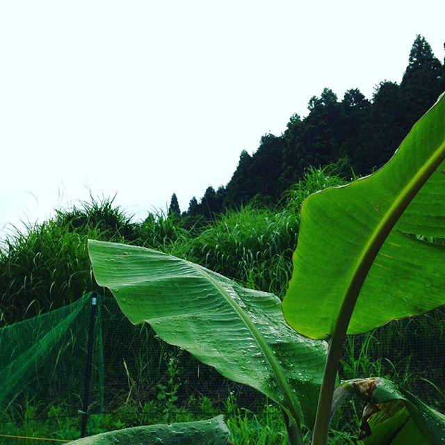 曇りでしたが、雨が降り出しました。バナナが成長してます