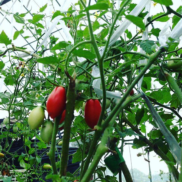 アイコ収穫してます。少しスパルタ気味で栽培してますので相変わらず数は出荷してませんが、食べた人だけ知ってると言う感じですね