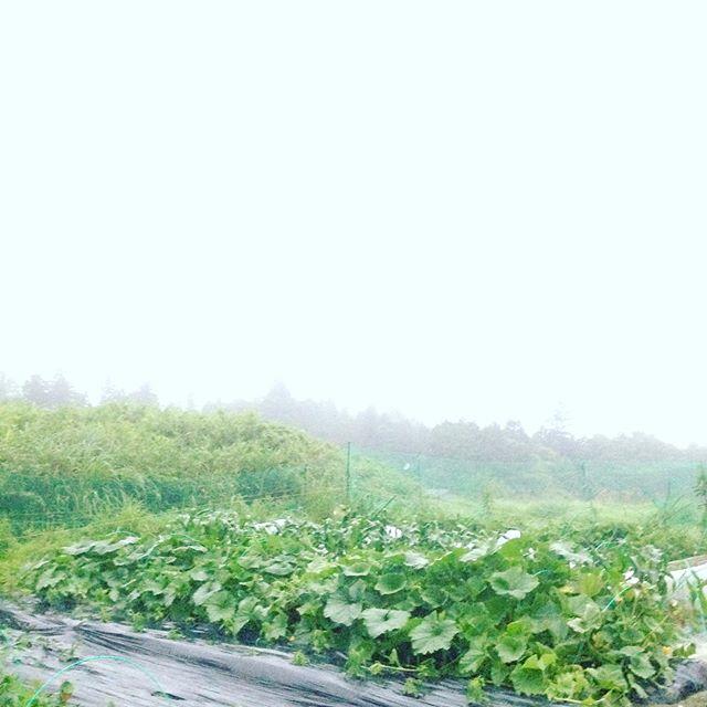 霞む程の雨が降り出しました!今夜はかなり降りそうです!ハウスの作業をしてます。
