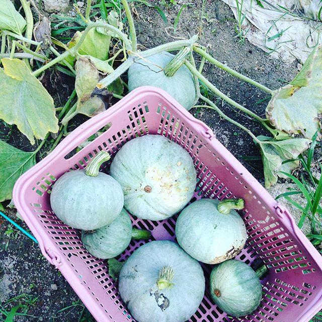 雪景色南瓜を収穫してます。たくさん種類がある中でら来年まで長期貯蔵品種です!