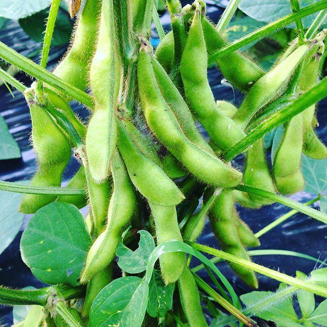 枝豆がバッチリ膨らみました!明日から収穫出荷ですね