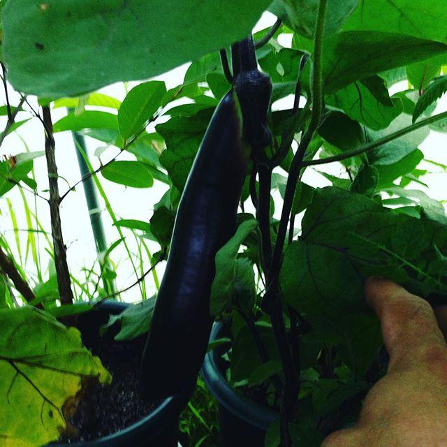 長茄子です、昨日食べましたが美味しい!収穫します。
