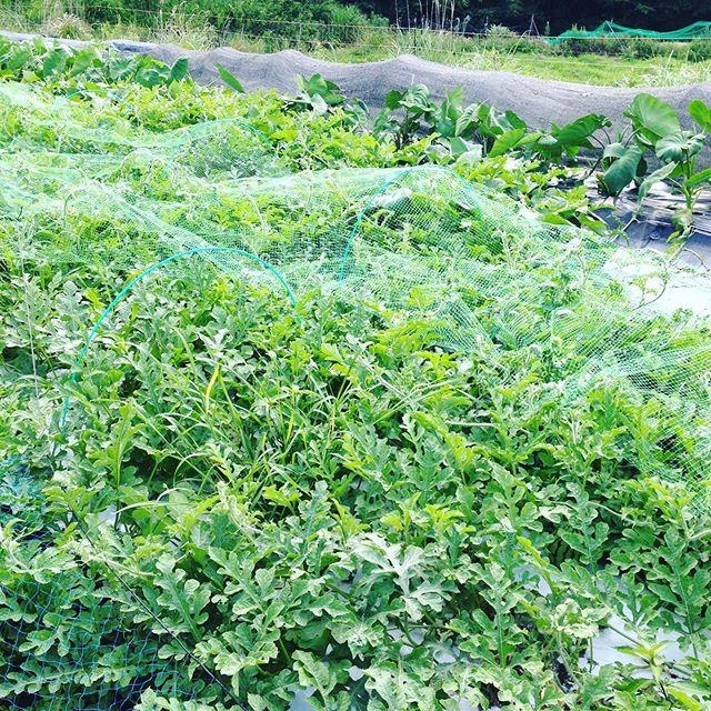 手前からスイカ、サツマイモ、里芋、キャベツ、ジャガイモと並んでます!こんな感じで、1種類だけ栽培せずに畑ごと同じ様に病気で全滅しない様に栽培してます。