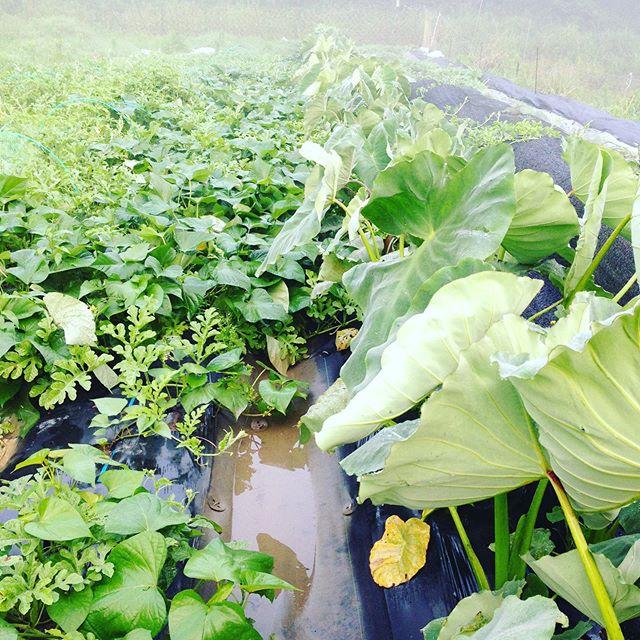 台風6号の被害はなく、里芋と、サツマイモもスクスク育ってます。