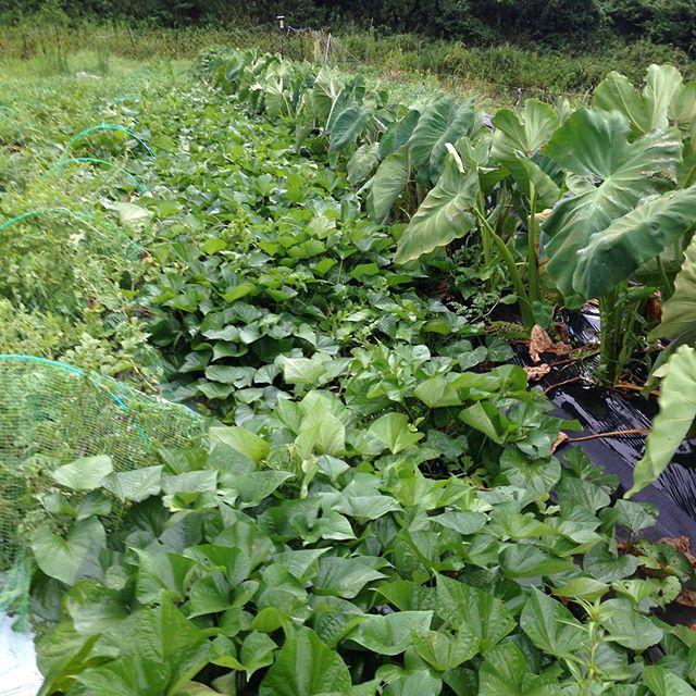 秋、冬の人気のお野菜が成長しです。横殴りの雨が路地お野菜の朝一とりたて収穫を邪魔してます。