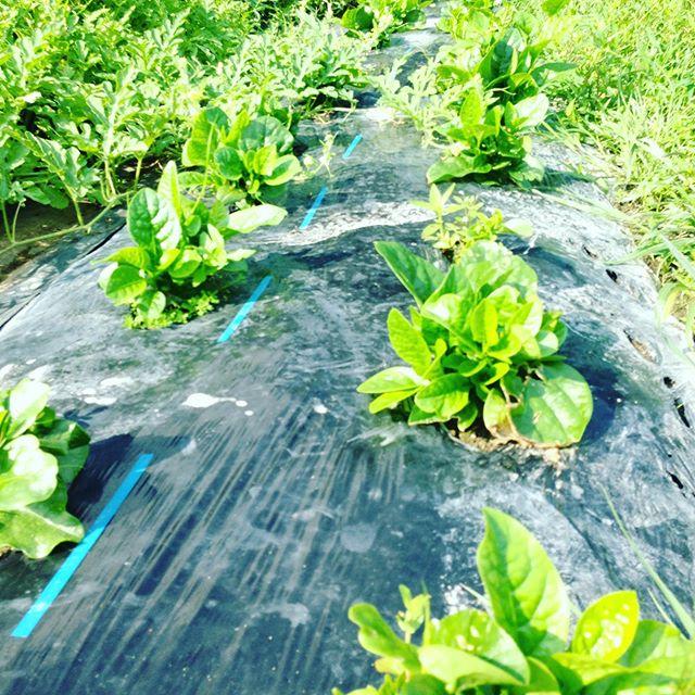 ツルムラサキの青です!こちらは良い例です!うちの基準では、新芽だけ出る様に蔓が伸びない様にお茶の新芽感覚で摘み取ります!この写るもので、わずか、2パック位しか取れません!
