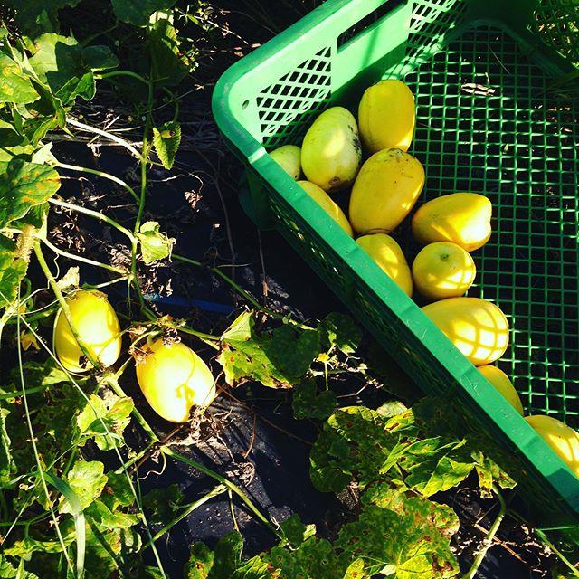 黄色マクワ瓜を収穫してます。あとは、気温と勝負