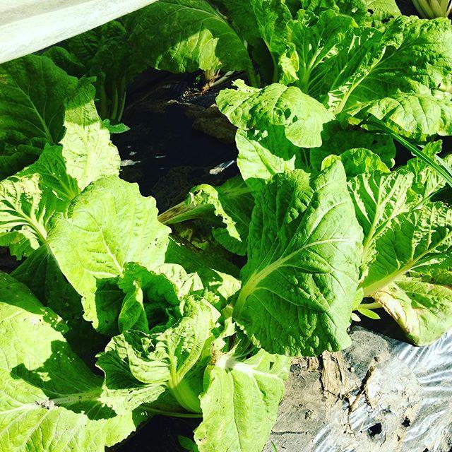 少し気温が下がる頃から白菜も仕上がるかと期待しましたが、ほとんど暑さで溶けました。一部残ったます。