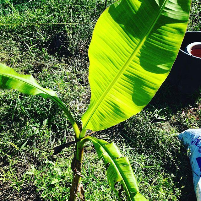 小笠原のバナナは、3本のうち1本人枯れましたが、葉が無いと光合成してくれない結果です!