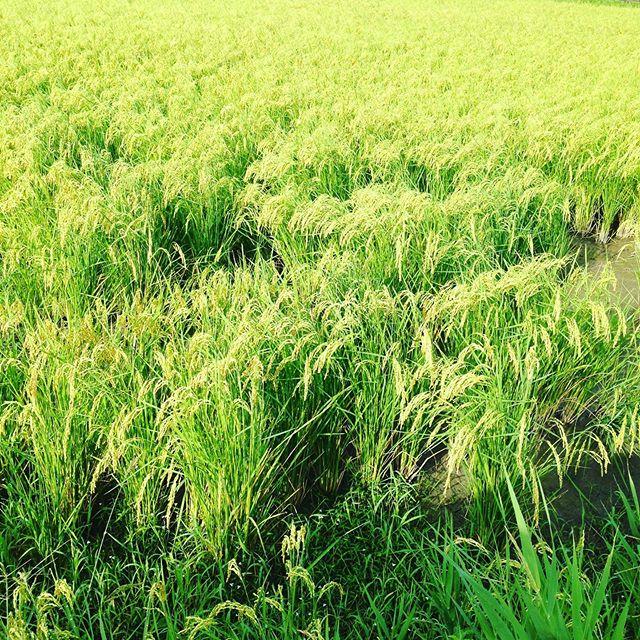 もち米も実ってますね!気温も生育もバッチリですので、いよいよコシヒカリの品種は刈取り乾燥する準備です!