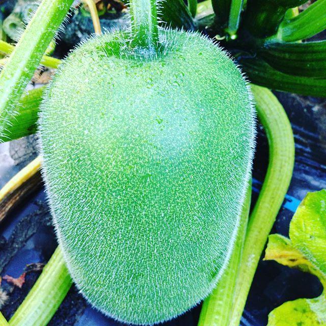 冬瓜は、名前の通り貯蔵野菜なので、今年は、遅く作りました!