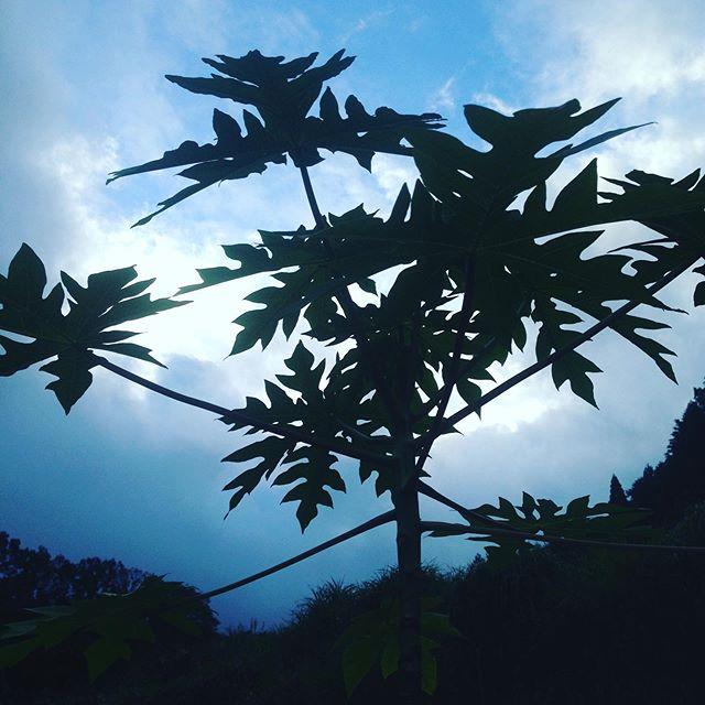 極霧雨が降ってますが、収穫に今のところ影響ありません!台風シーズンで、次々と台風がやって来ますので、作業が遅れるのが悩みどころです!
