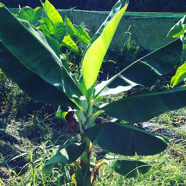 3寸バナナは、2メートルまで成長しました。