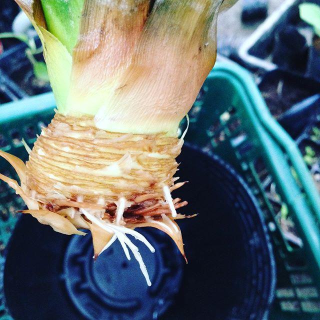 22℃と昨日より2℃高い朝の快晴です!今日は朝から沖縄の親戚からパイナップルを事前に送ってもらい、美味しく食べた後に水耕栽培で根を伸ばして今日は土に植えてから収穫です!