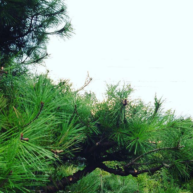 植木の剪定 松、紅葉、梅と一気にやってます。