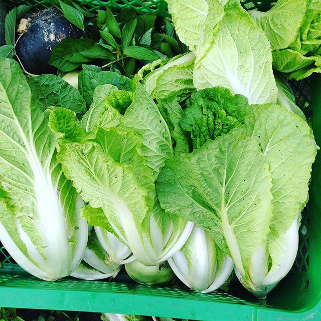 ミニ白菜を収穫!高温で、ほとんど溶けましたが、少し持って行きます。