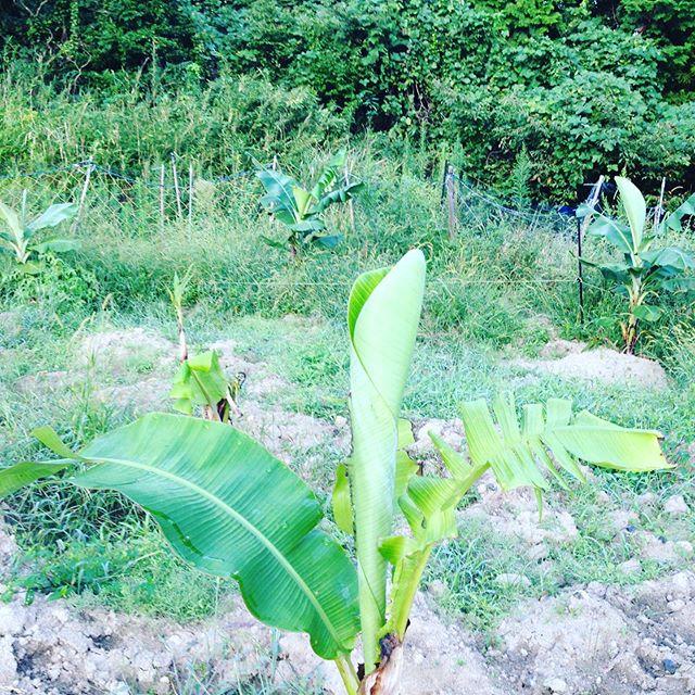 バナナの別の畑で、タイベジタブル、マッサン、3寸、小笠原バナナと元気な状態で、気温が更に下がったらハウスに入ります。